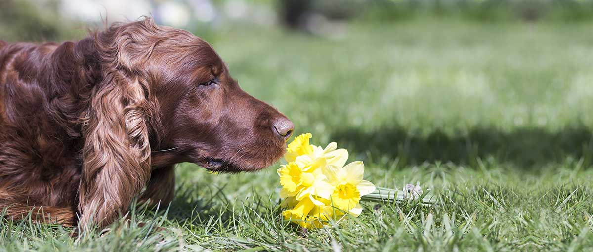 Dog Allergic to flowers