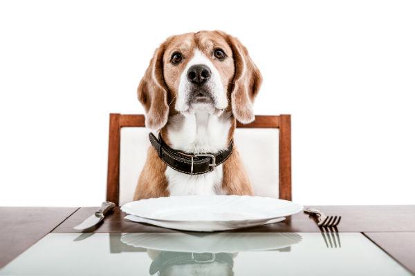Turkey Beagle Puppy
