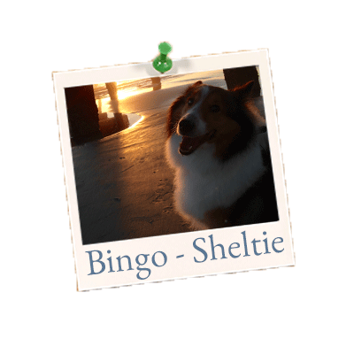 Bingo Sheltie website