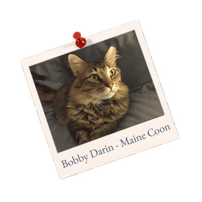 Bobby-Darin-Maine-Coon-website