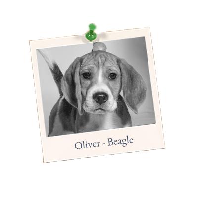 Oliver - Beagle