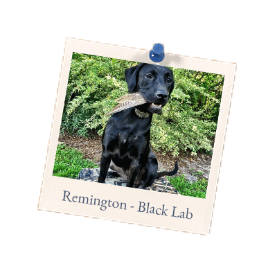 Remington Black Lab