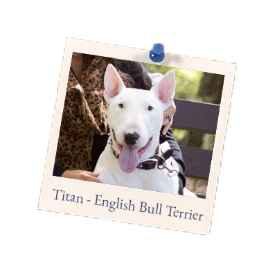 Titan - English Bull Terrier