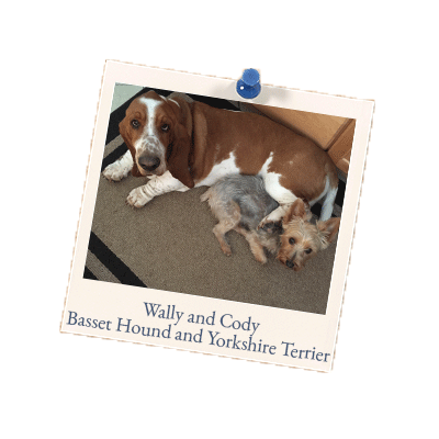 Wally and Cody - Basset Hound and Yorkshire Terrier