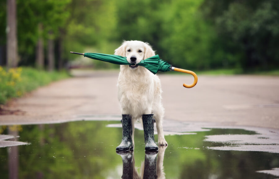 Golden Retriever Dog In Rain Boots Holding An Umbrella
