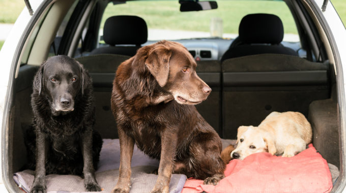 Three Labrador Retriever Dogs Sit In The Back Of A Car While They All Look In Different Directions.