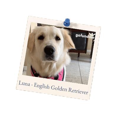 Luna-English-Golden-Retriever