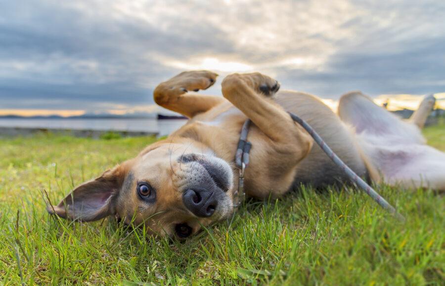 German Shepherd Mixed Breed Dog Enjoying Summer Days