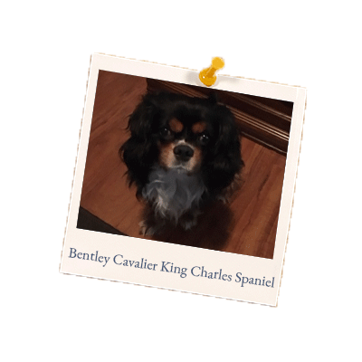 Bentley-Cavalier King Charles Spaniel
