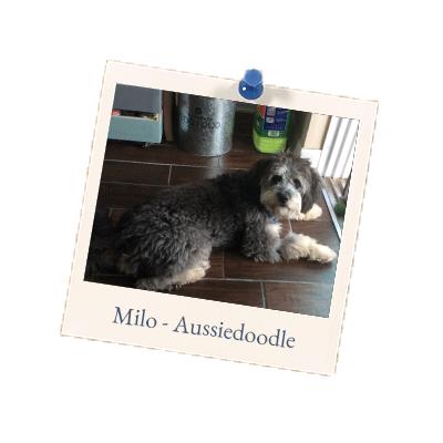 Milo Aussiedoodle