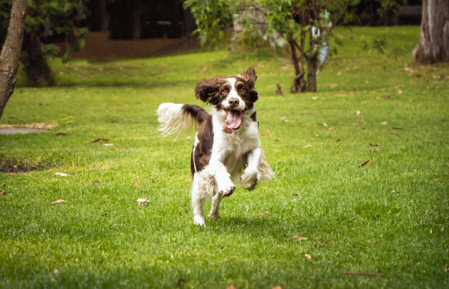 Cocker Dog Running In The Park